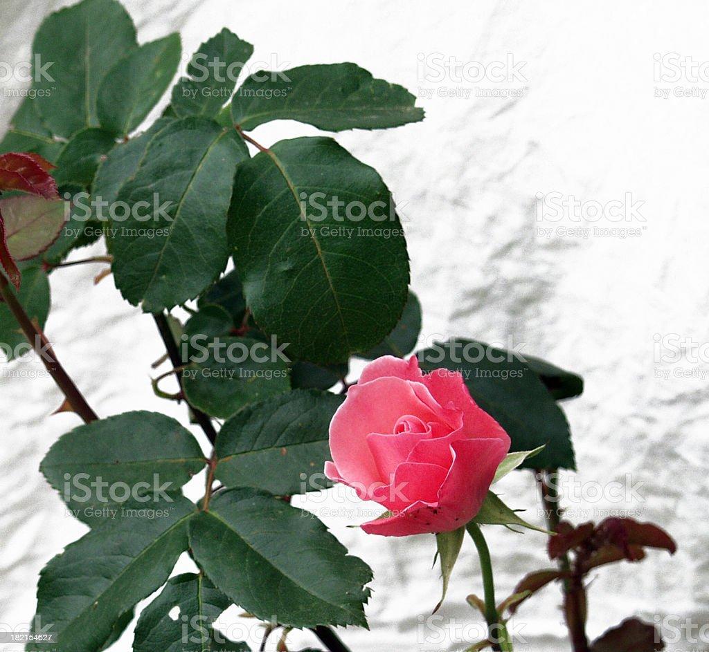 Grunge Rose stock photo