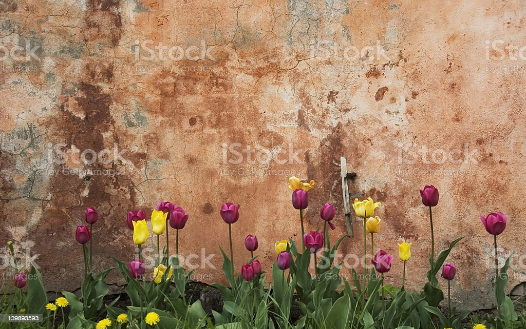 grunge wall with tulips stock photo