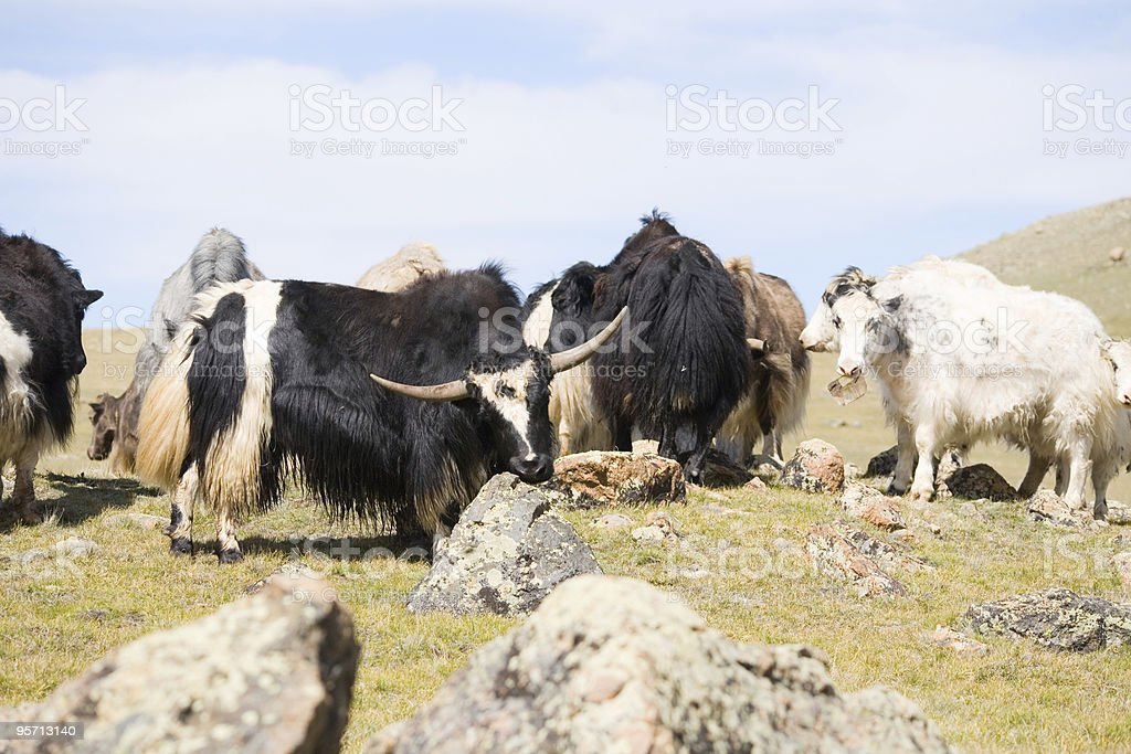 grunting ox royalty-free stock photo