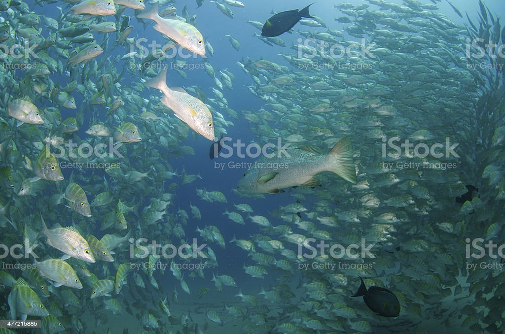 Grunts and Snappers. royalty-free stock photo