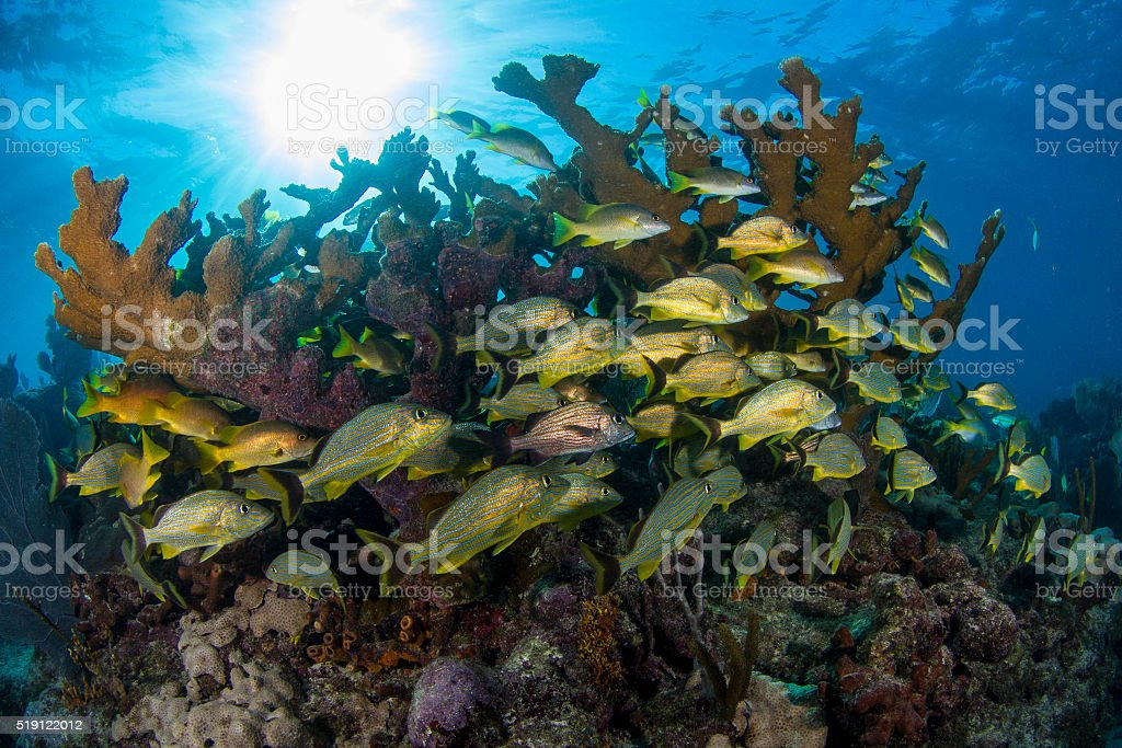 Grunts and snappers with elkhorn coral stock photo
