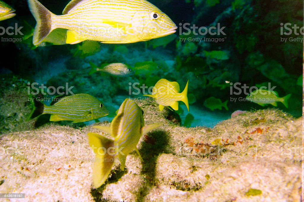 Grunts swimming in coral reef in the Caribbean stock photo
