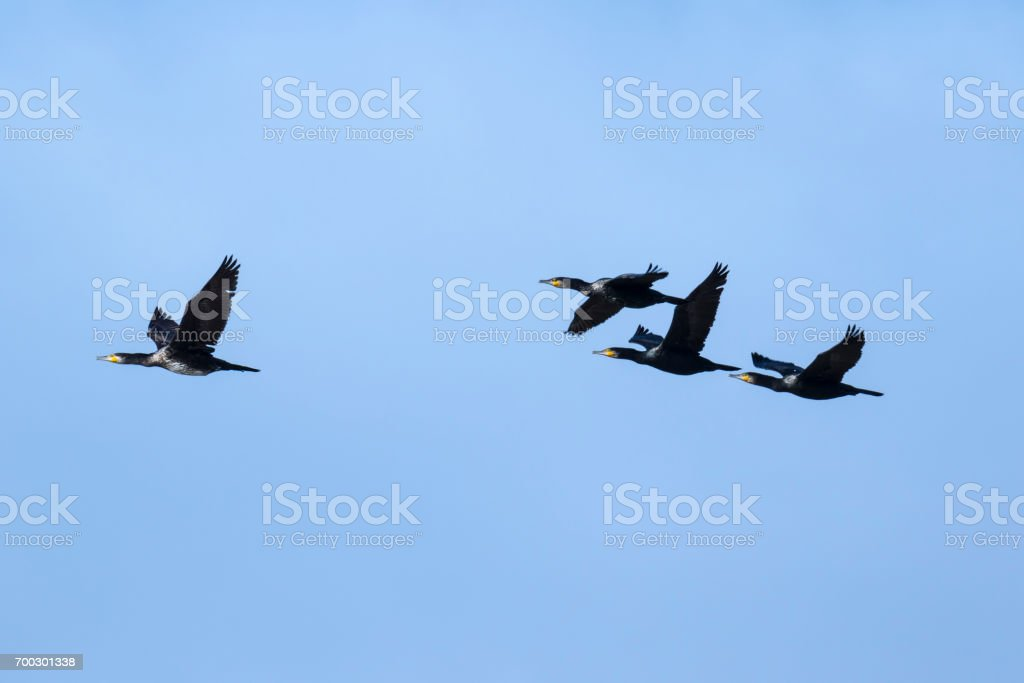 Grupo de cormoranes volando stock photo
