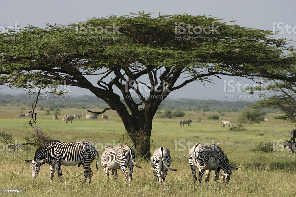 Gr?vy's, Imperial Zebra (Equus grevyi) and Acacia stock photo