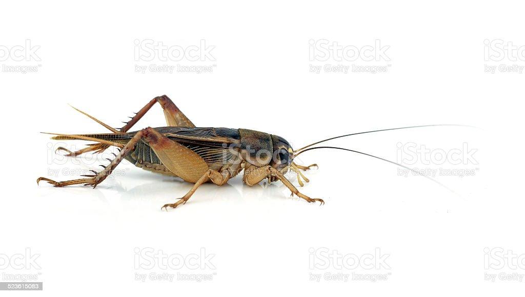 Gryllidae on a white background. stock photo