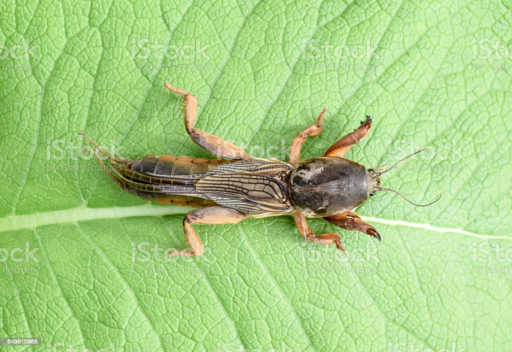 Gryllotalpa gryllotalpa On a piece of grass. Pest of garden plantations. stock photo