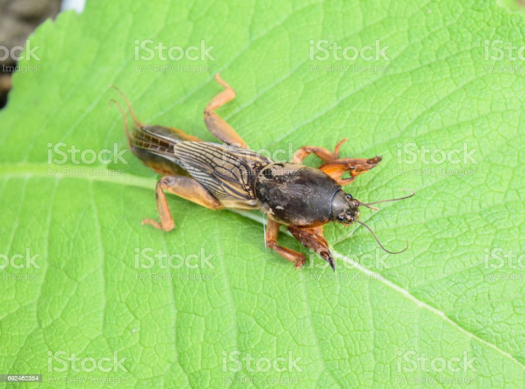 Gryllotalpa gryllotalpa On piece of grass. Pest of garden plantations. stock photo