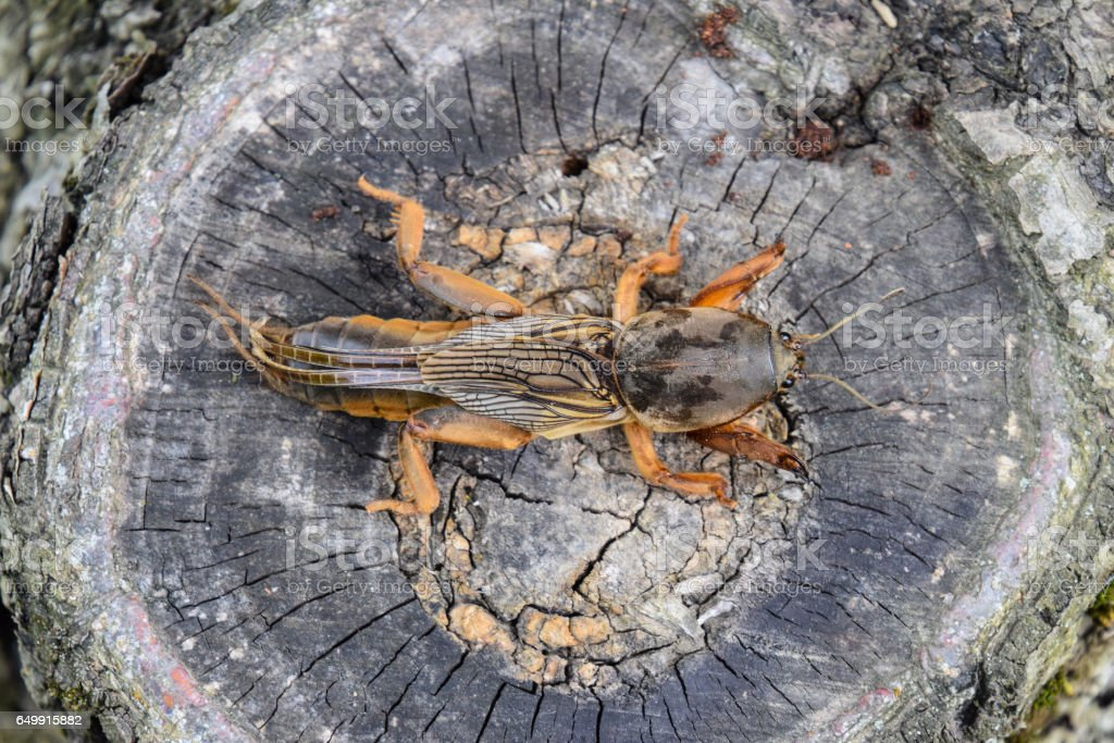 Gryllotalpa gryllotalpa On the cut of the old stump. Pest of garden plantations. stock photo