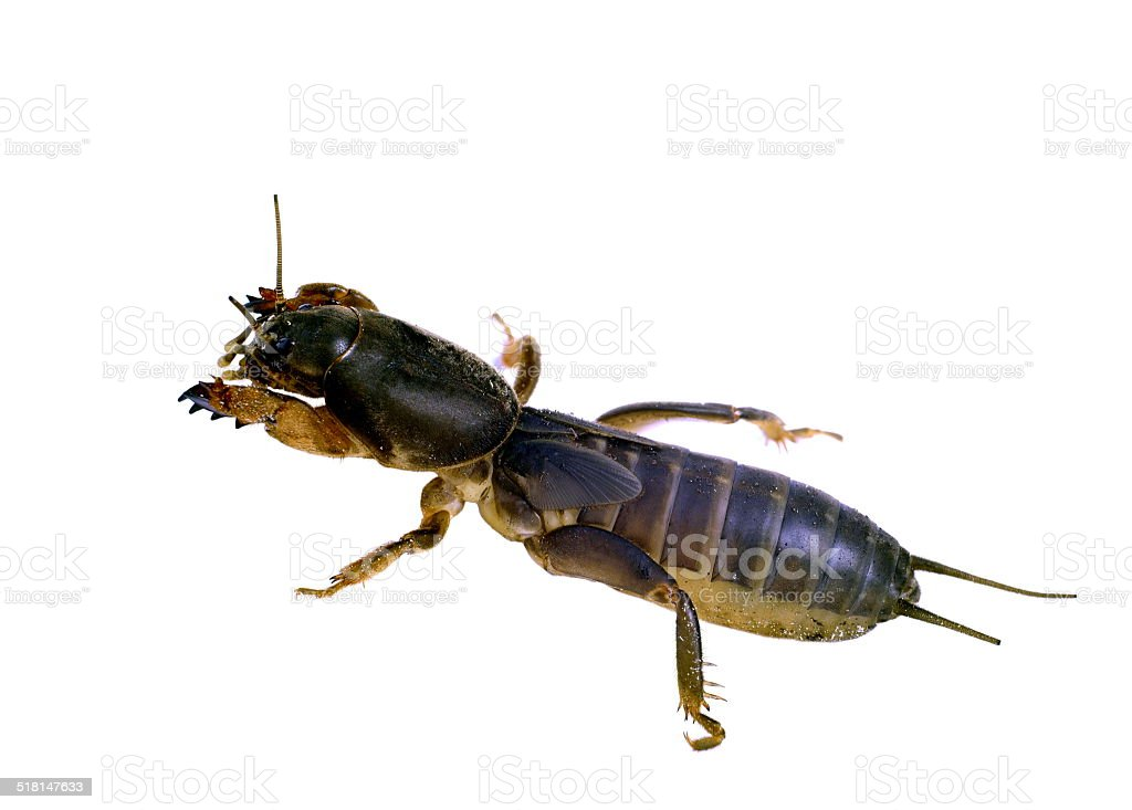 gryllotalpa  mole cricket stock photo