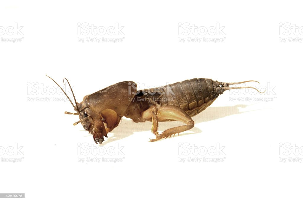 gryllotalpa stock photo