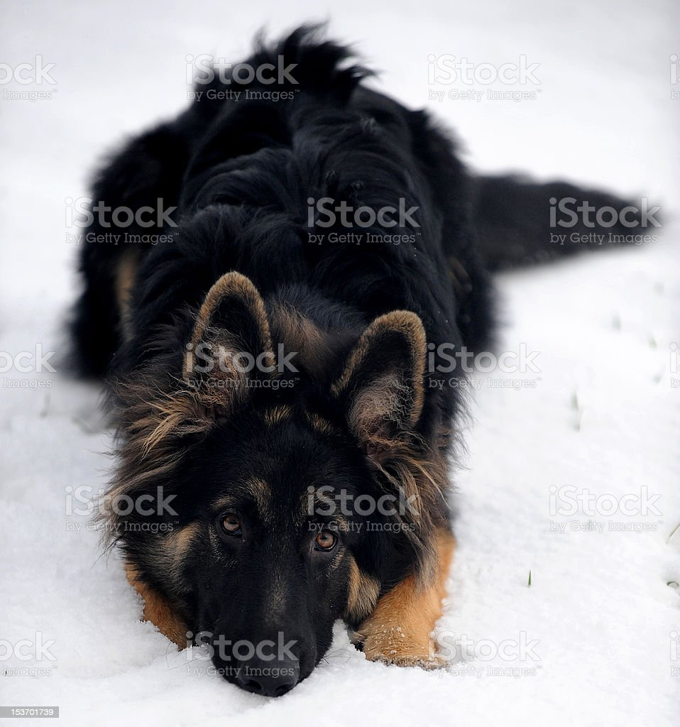 gsd in snow royalty-free stock photo