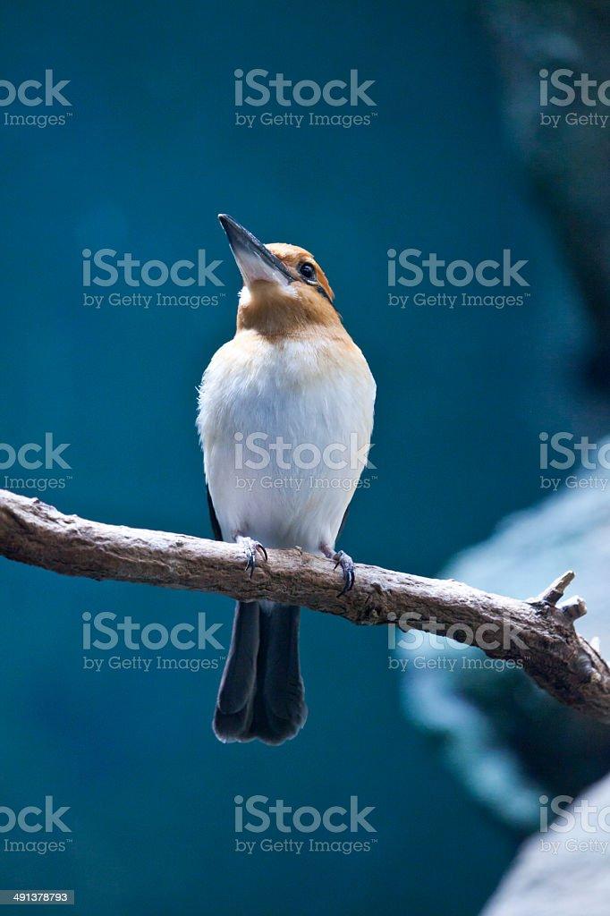 Guam Kingfisher stock photo