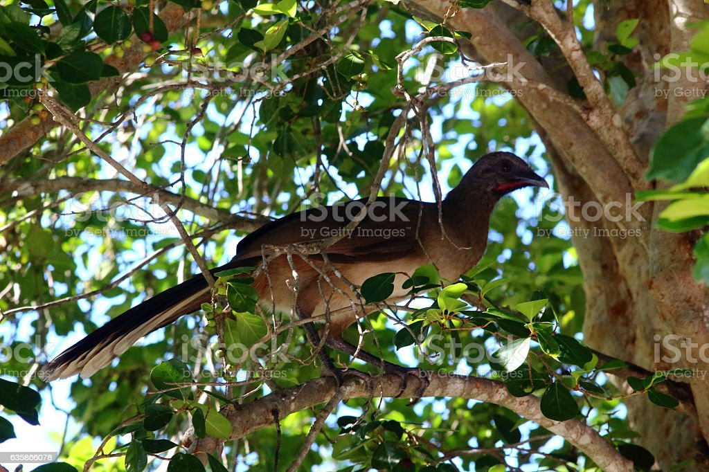 Guan in tree. stock photo