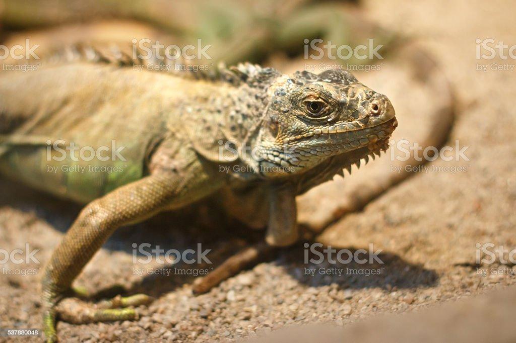 İguana stock photo