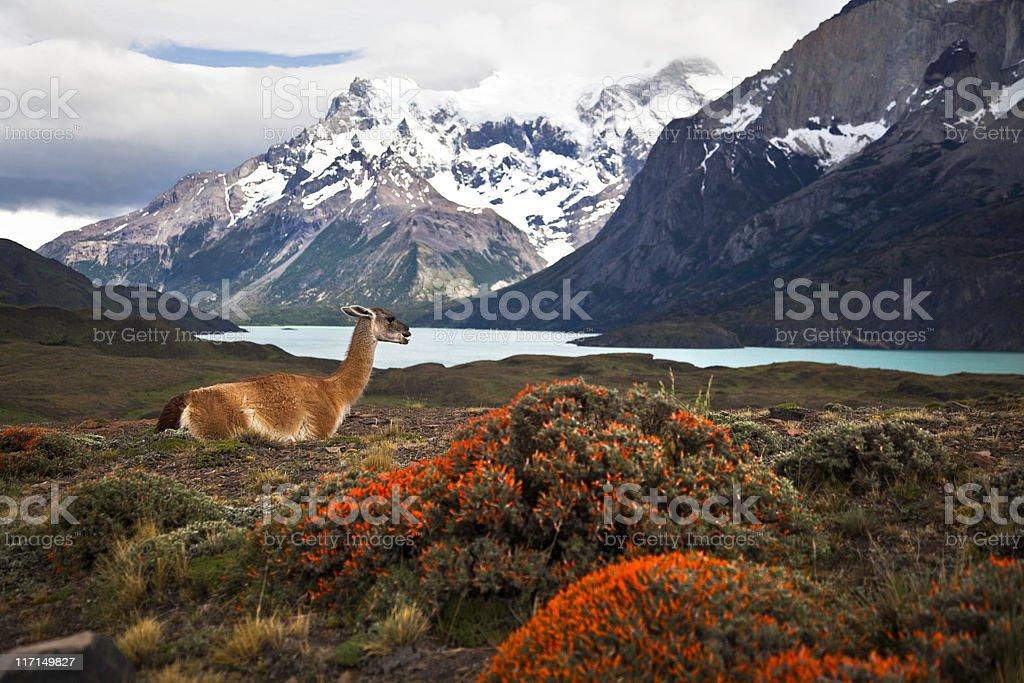 Guanaco at Torres del Paine XXXL stock photo