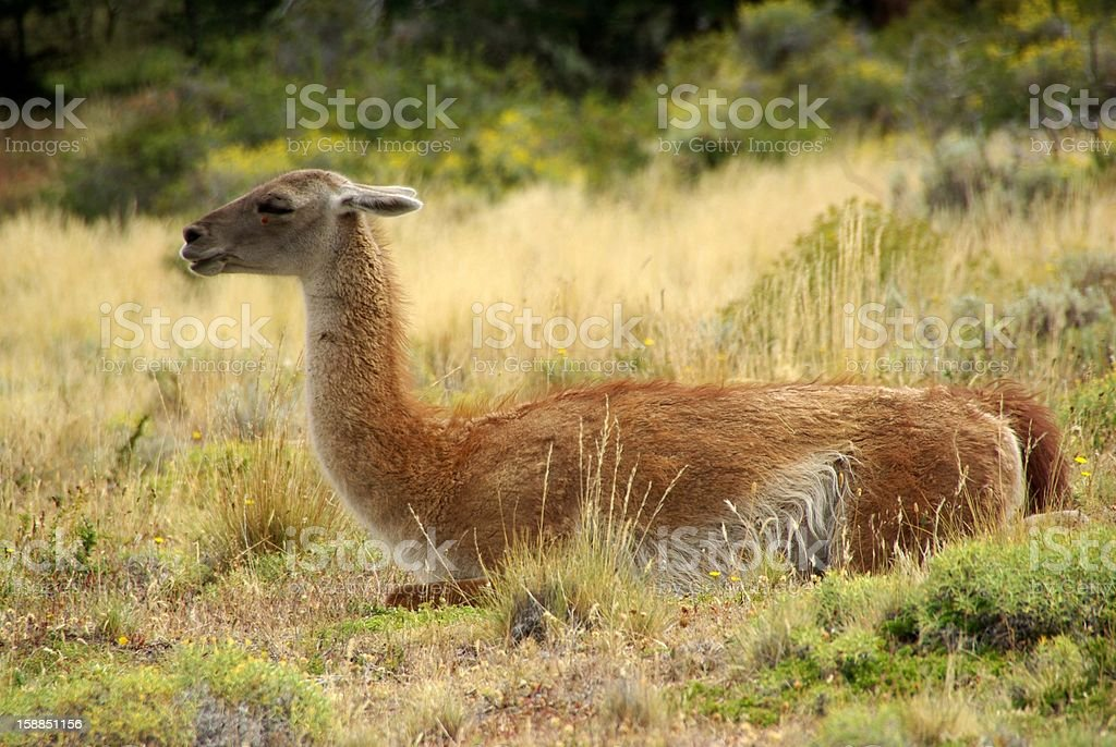Guanaco in Chile royalty-free stock photo