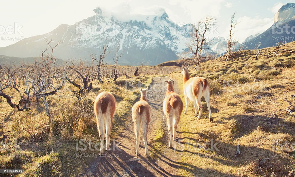 Guanaco in Chilean Patagonia stock photo