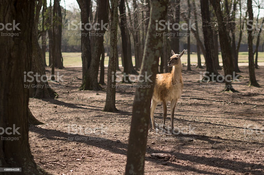 Guanaco en el bosque stock photo