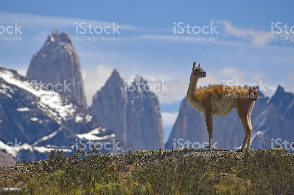 A Guanaco in Torres del Paine National Park, Chile stock photo