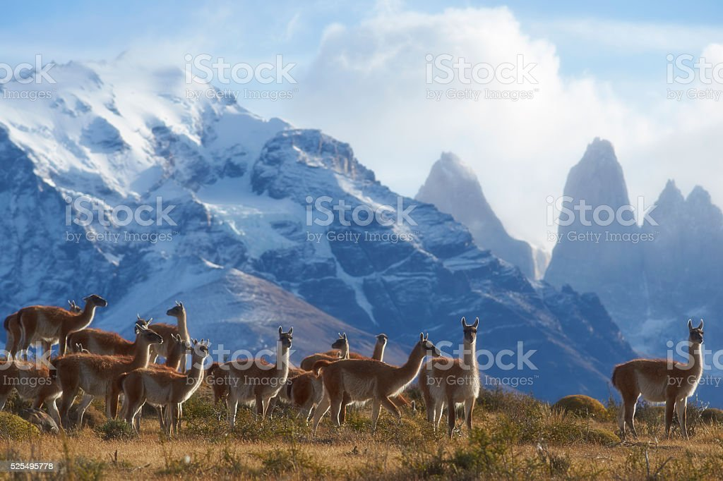 Guanaco in Torres del Paine National Park stock photo