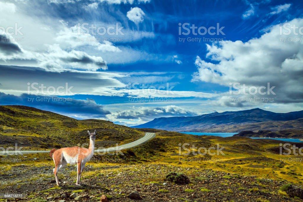 Guanaco is in Torres del Paine Park stock photo