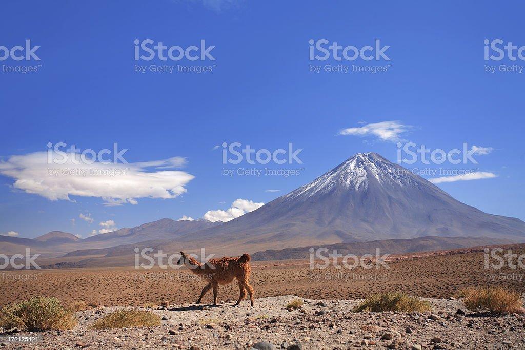 Guanaco near Licancabur volcano - Chile, Atacama stock photo