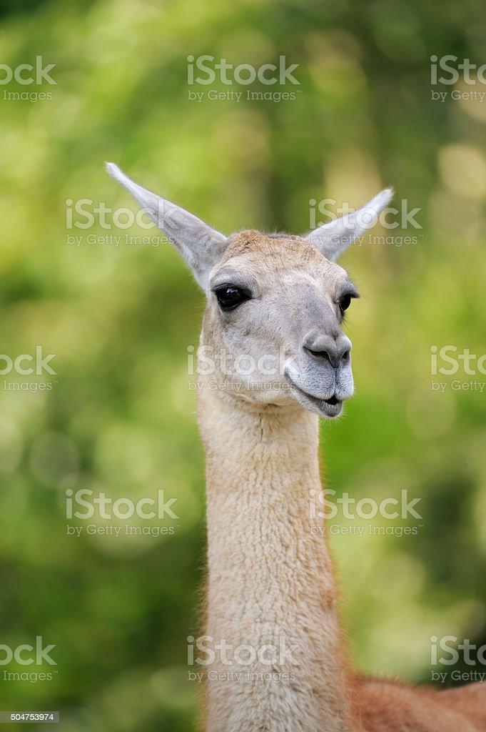 guanaco stock photo