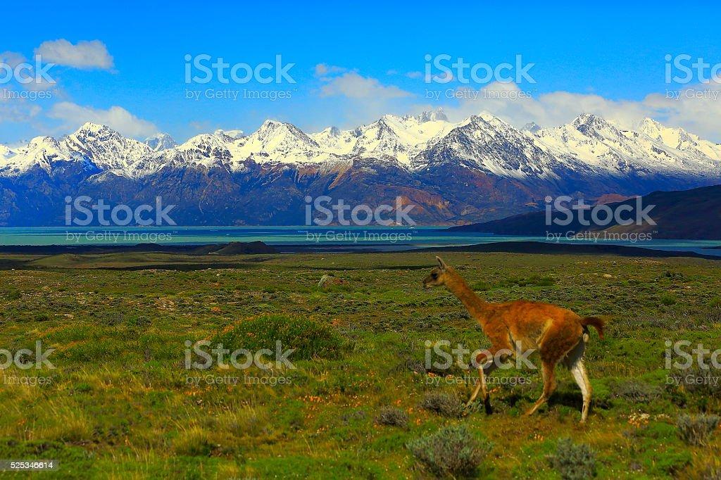 Guanaco running - El Chalten, Fitzroy, Patagonia Argentina, Los Glaciares stock photo