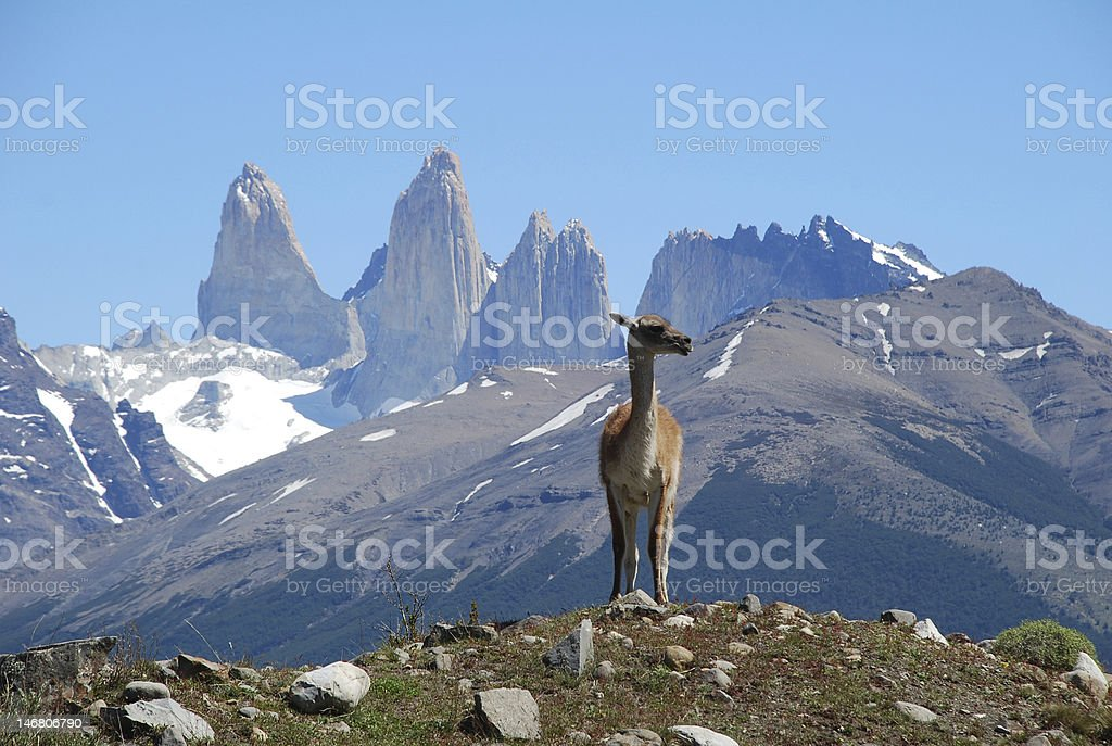 Guanaco, 'Torres del Paine', Chile royalty-free stock photo