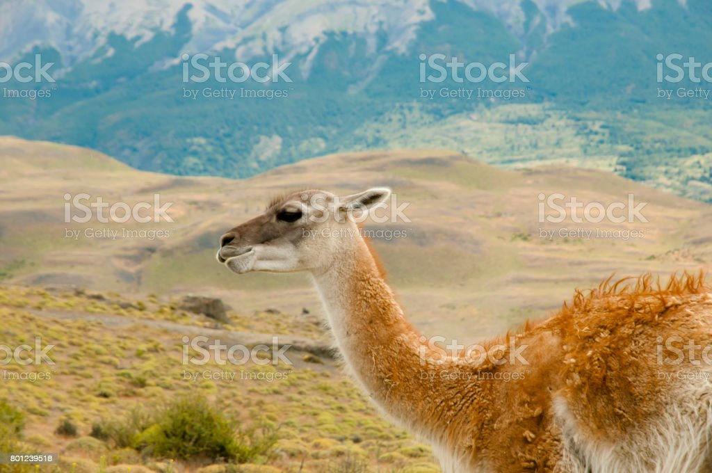 Guanaco - Torres Del Paine - Chile stock photo