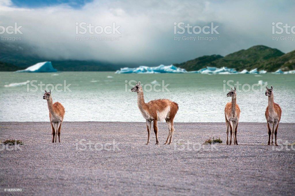 Guanaco - Torres del Paine - Patagonia - Chile stock photo