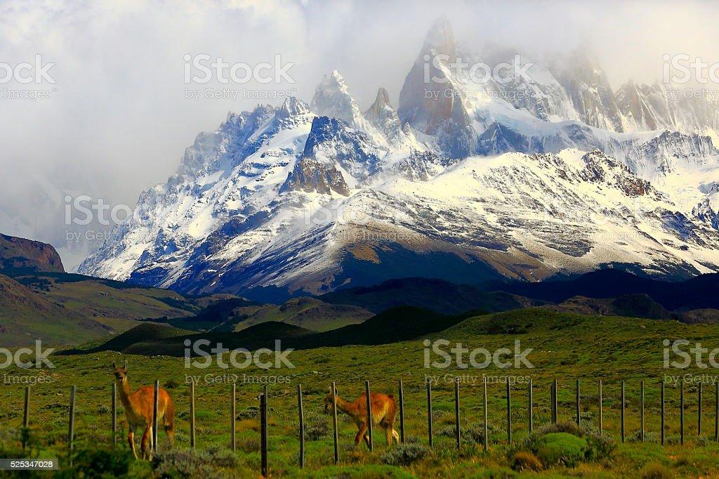 Guanacos couple - El Chalten, Fitzroy, Patagonia Argentina, Los Glaciares stock photo
