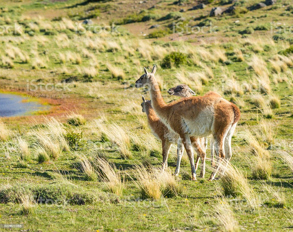 Guanacos in Torres del Paine National Park, Chile stock photo