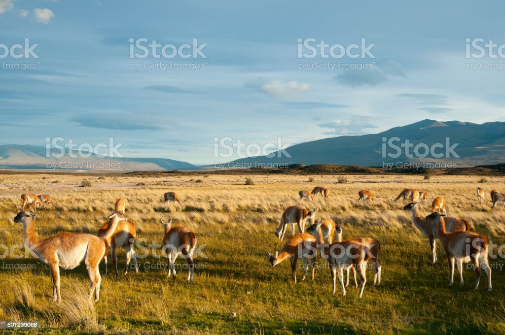 Guanacos - Torres Del Paine - Chile stock photo