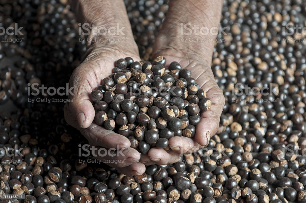 Guarana seeds backgrouds harvesting stock photo