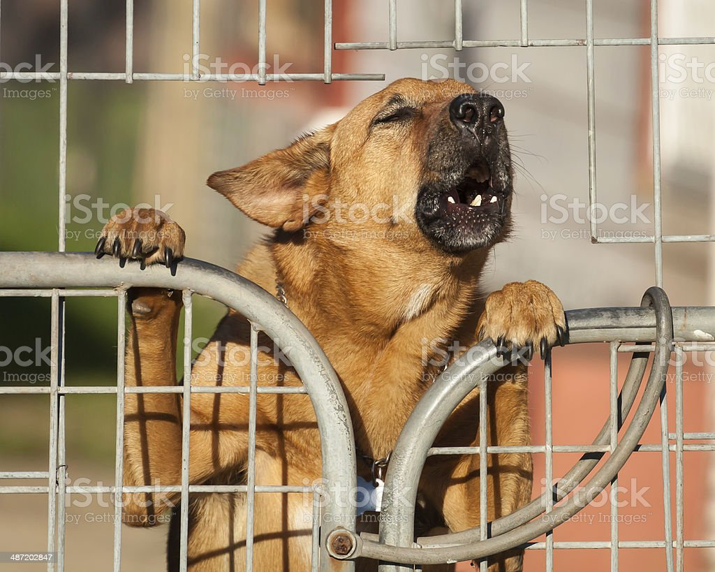 Guard Dog Barking a Warning Behind a Wire Fence stock photo