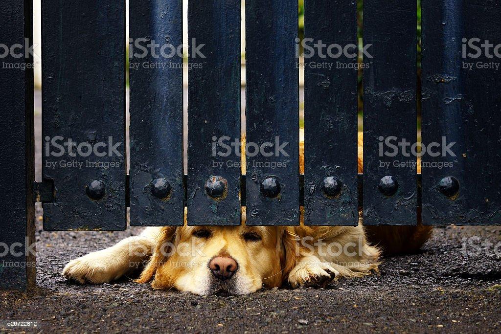 guard dog bored under gate stock photo