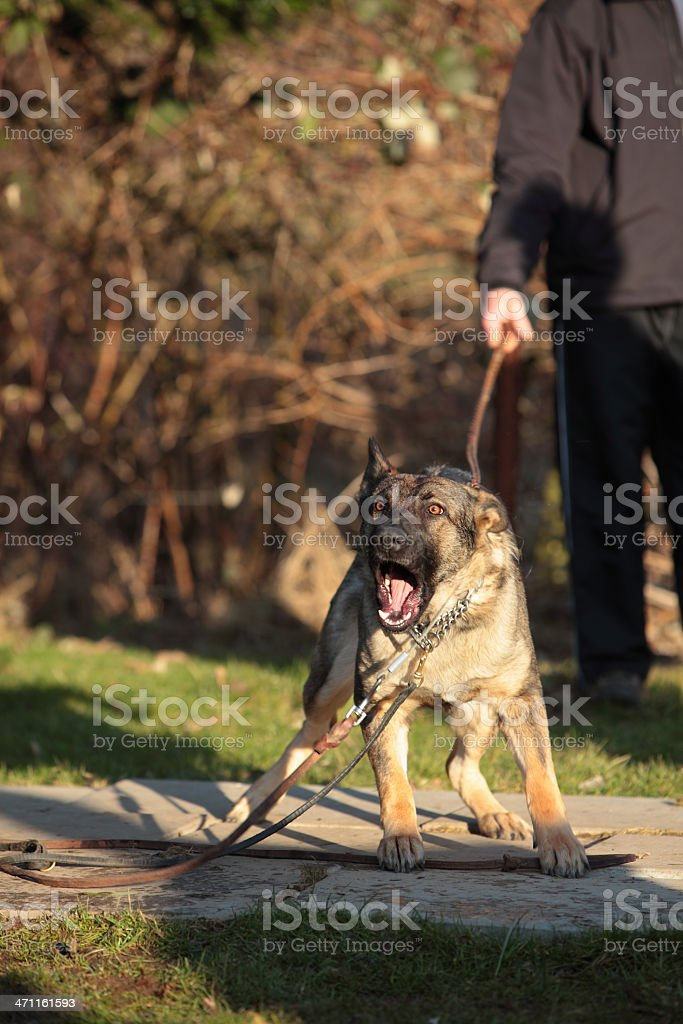 Guard Dog royalty-free stock photo