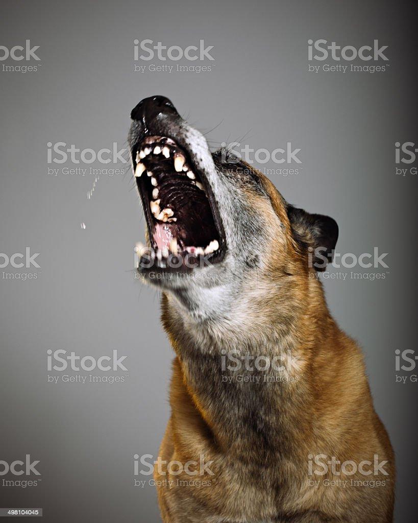 Guard dog stock photo