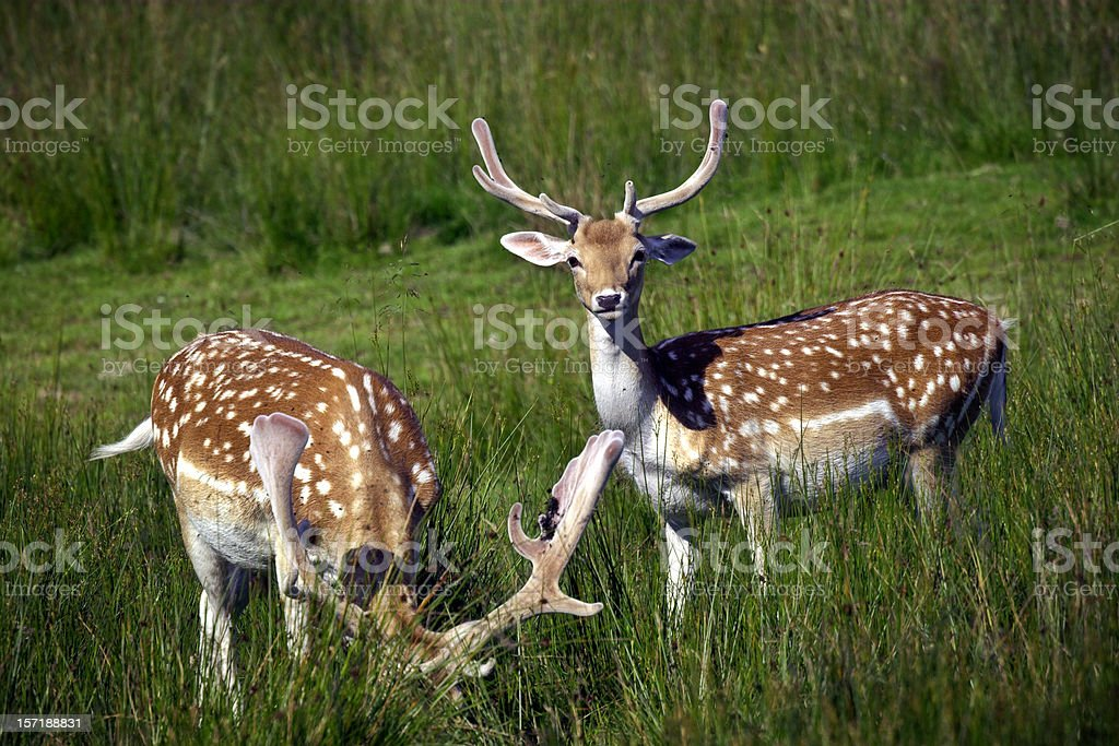 Guard Duty - Red Deer Stag stock photo