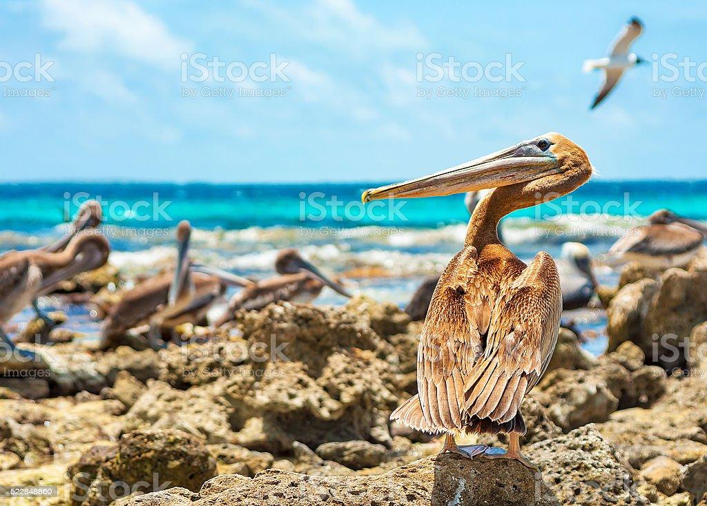 Guard pelican watches his beach stock photo
