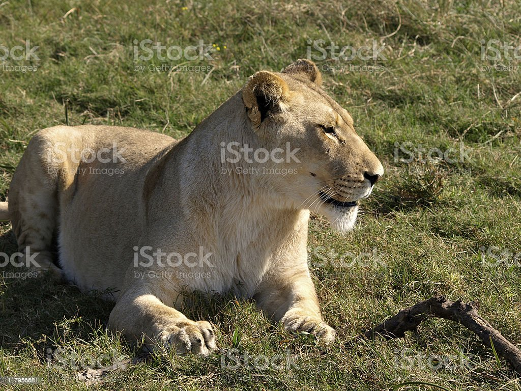 Guarding my stick royalty-free stock photo