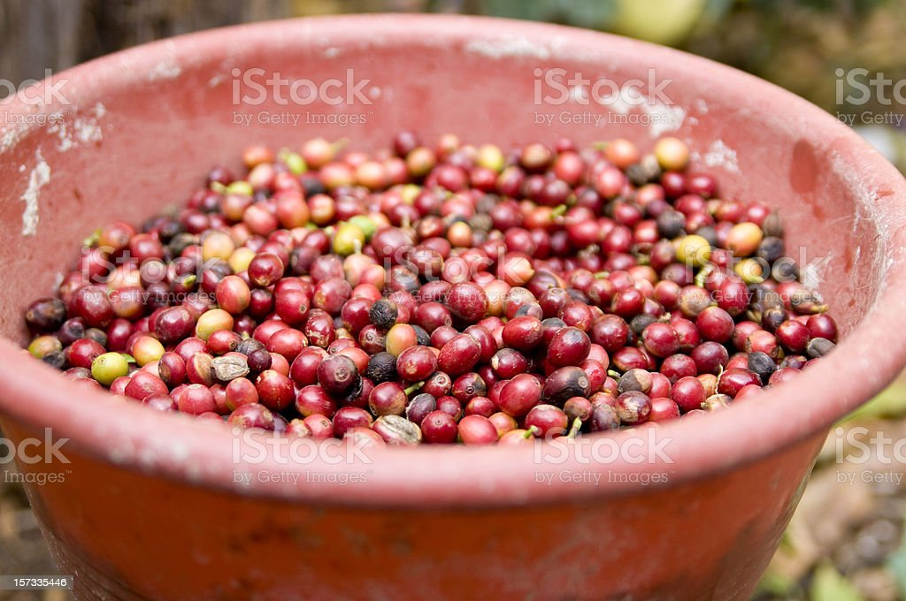 Guatemala Coffee Beans in a Bucket royalty-free stock photo