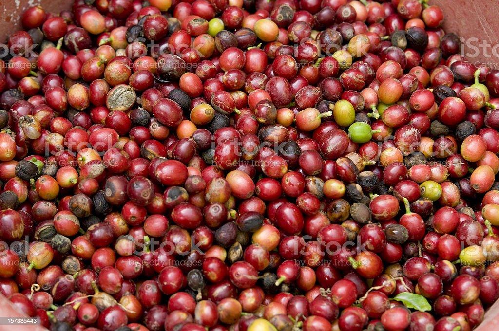 Guatemalan Coffee Beans stock photo