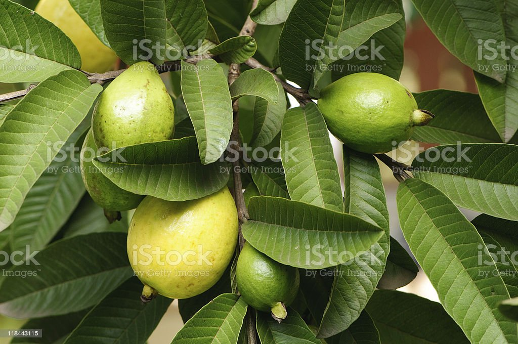 Guava fruit ripe in tree with leaves stock photo