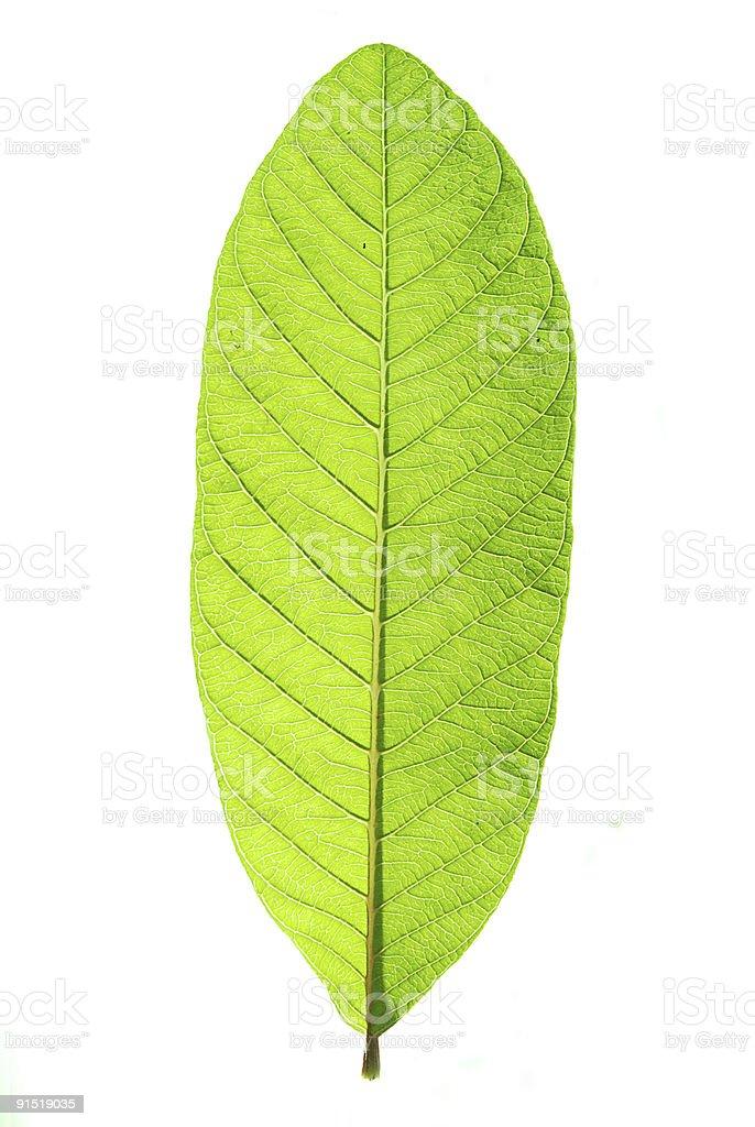 Guava Leaf stock photo