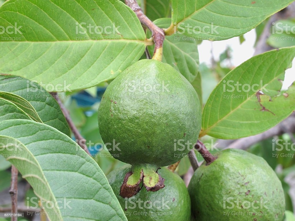 Guava on tree in Garden stock photo