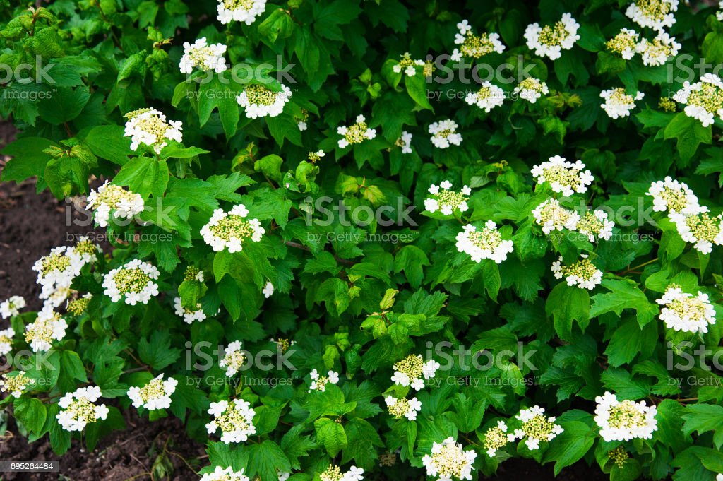 Guelder rose flower of Viburnum opulus stock photo