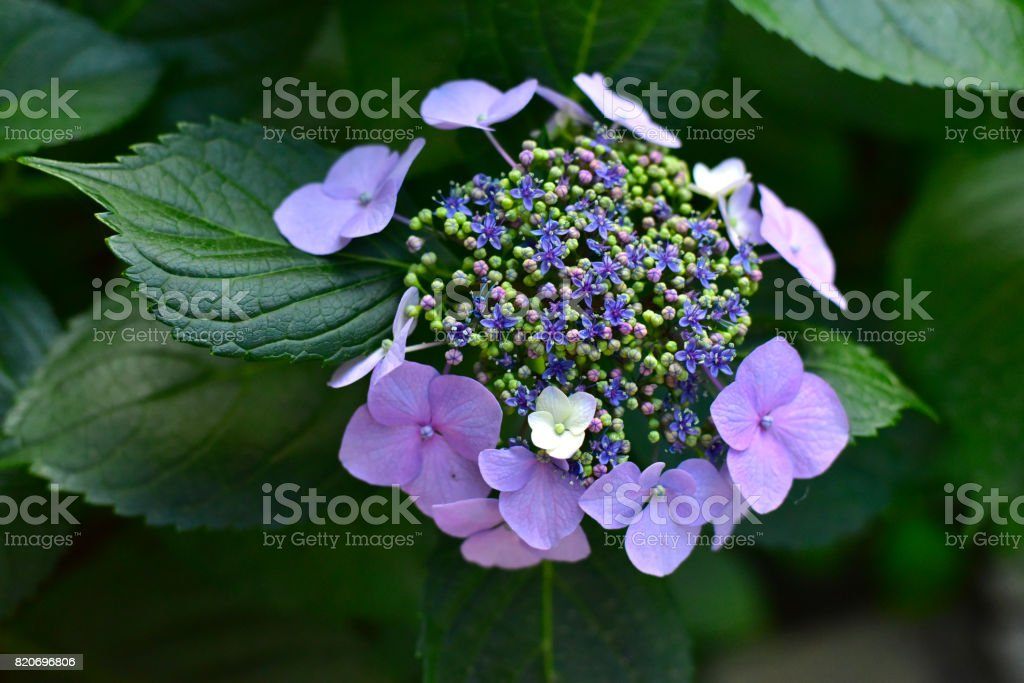 Guelder rose ,Viburnum opulus stock photo