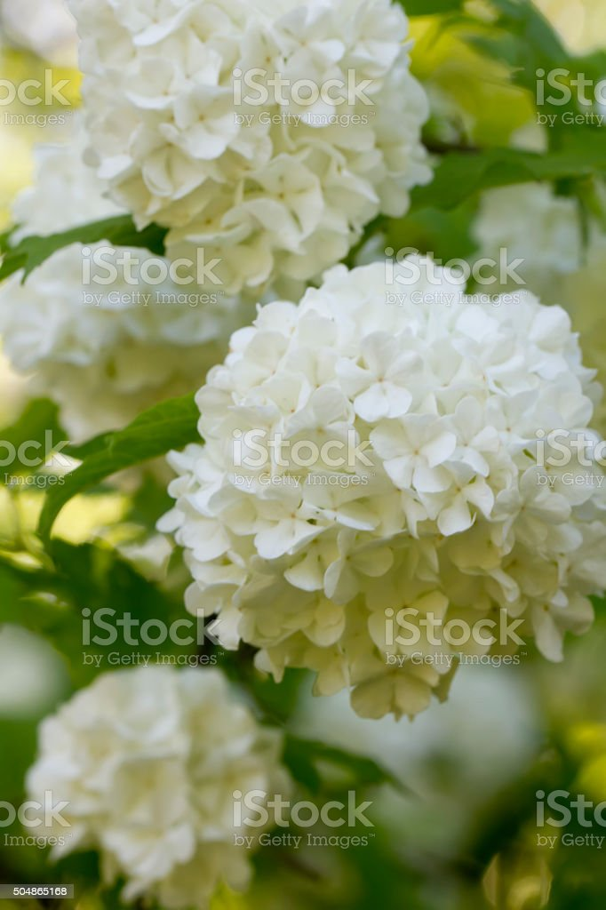 Guelder-rose flowers. stock photo